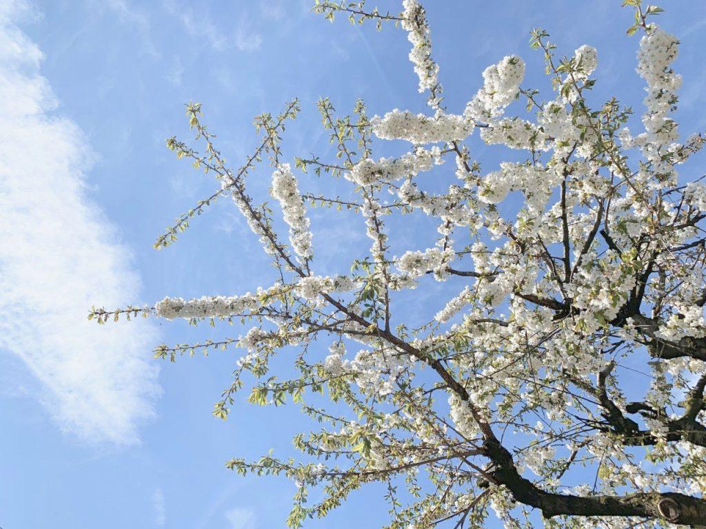 bloesemboom april